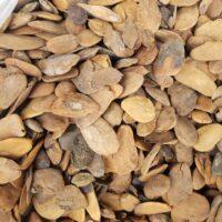 Abere Seeds (Hunteria Umbellata) Jumbo Size