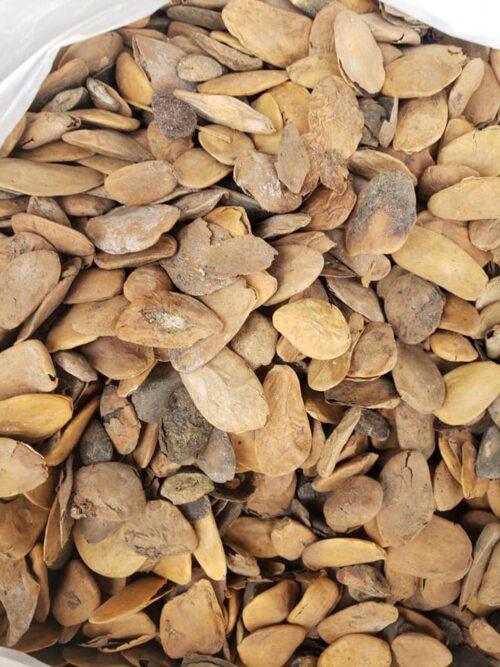 Abere Seeds (Hunteria Umbellata) Jumbo Size 3